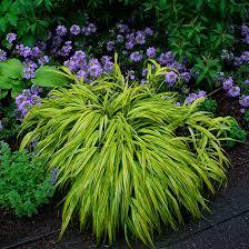 japanesforestgrass